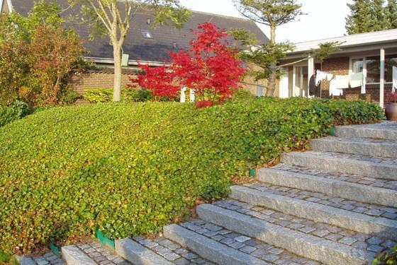 Trappen falder i som et naturligt element. Flot høstfarve på den japanske dværgahorn