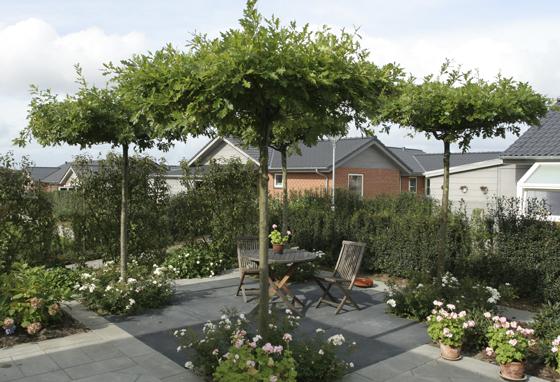 Quercus-Palustris.-Eg-udbundet-som-tagespalier.-Kvadratiske-sorte-fliser-100x100cm.